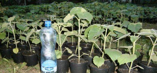 Paulownia rezervujte si sadenice na jar - Zvolen, predám