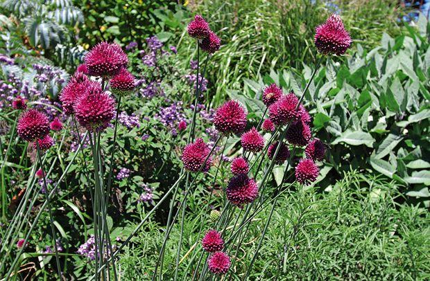 Drumstick allium | Organic Gardener Magazine Australia