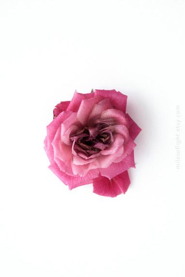 Rose. 8x10. Fine Art Photographic Natural History
