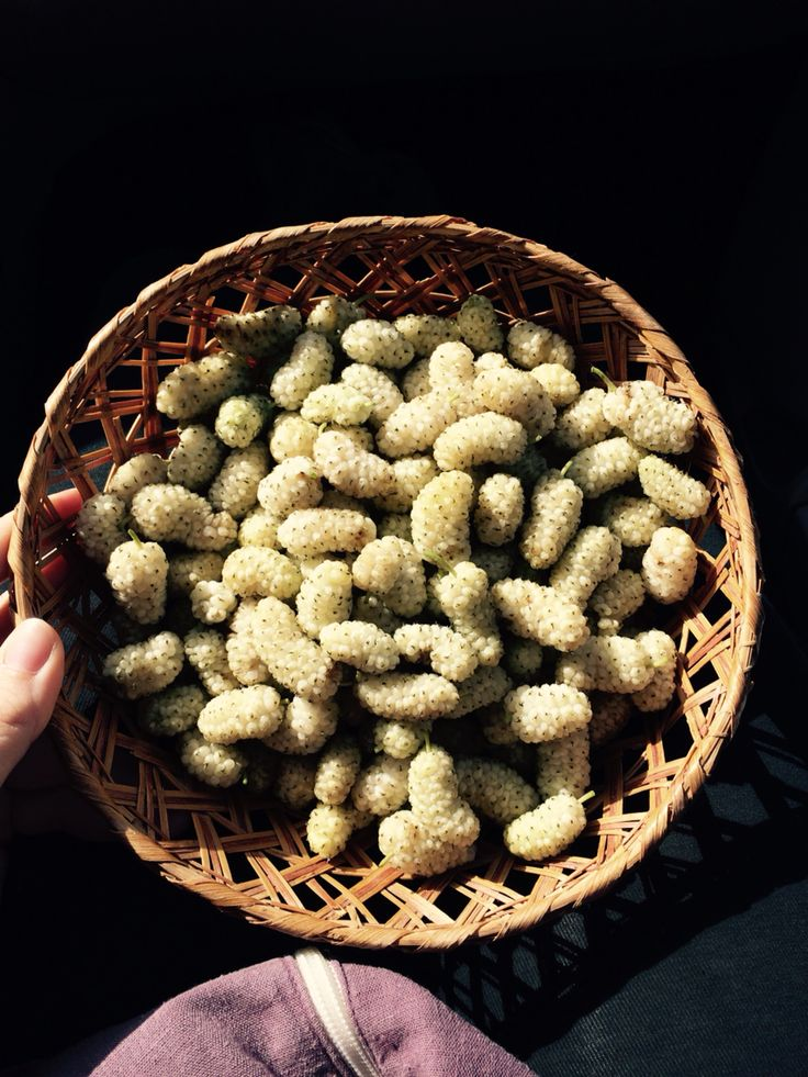 White Mulberry. Gelsi bianchi - Salento - Puglia - SOUTH ITALY