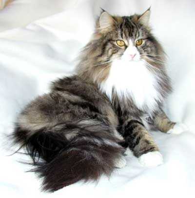 Nimrod Norwegian Forest Cats - pretty tabby and white