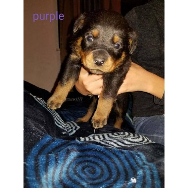 Rottweiler Sacramento Akc Registered Pure Breed 1 Male Female 4 Rottweiler Puppies Available For Rehoming Fee Rottweiler Puppies Rottweiler Puppies Near Me