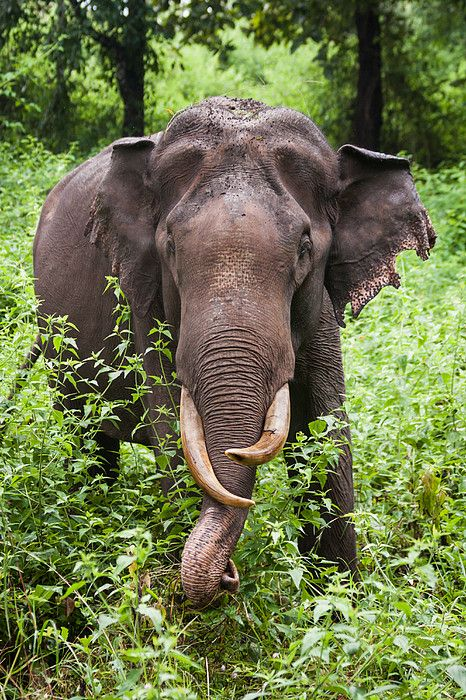 Tusker (Asian Elephant) in India - photo by Jeff A. Goldberg