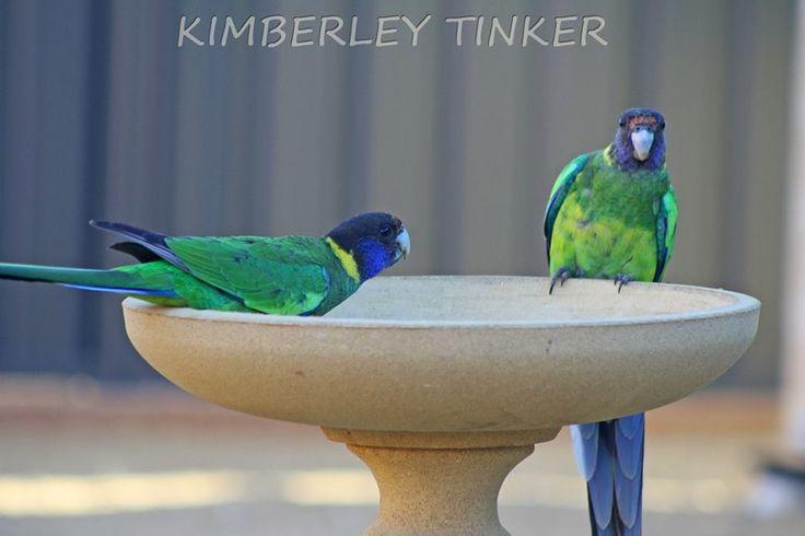 Parrot Western Australia