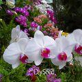 Best-Seller! 200 Pz/borsa Bianco Phalaenopsis Semi Farfalla Orchidea In Vaso Semi di Fiori Bonsai Da Interno Quattro Stagioni, # 9OPM5N
