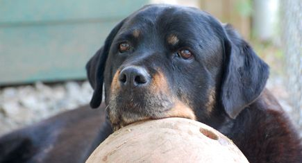Red (Female Rottweiler): March 16th, 1997 - January 2nd, 2010