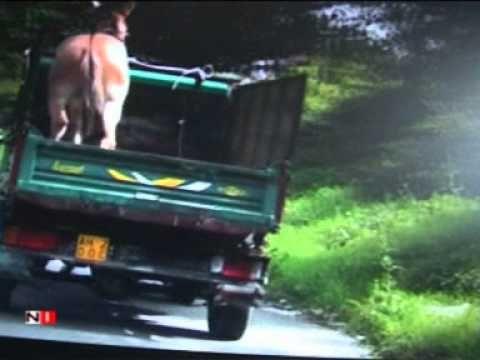 Un asinello su un furgone a rischio di cadere, chi sà come andava a finire con le auto che proseguivano la stessa direzione del furgone.