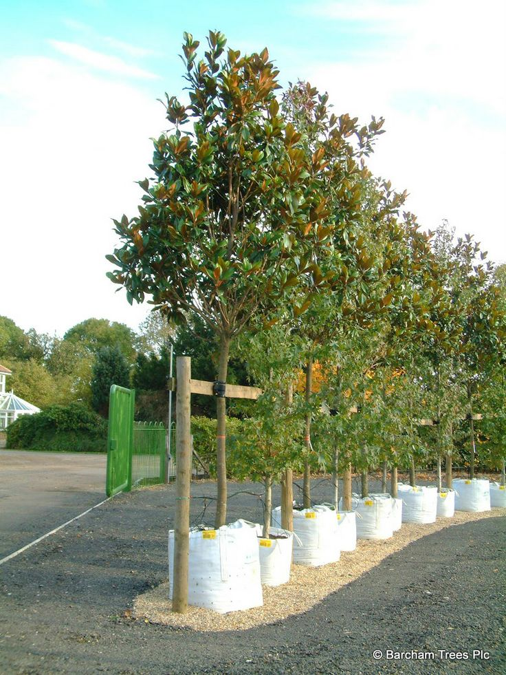 Mature evergreens for sale