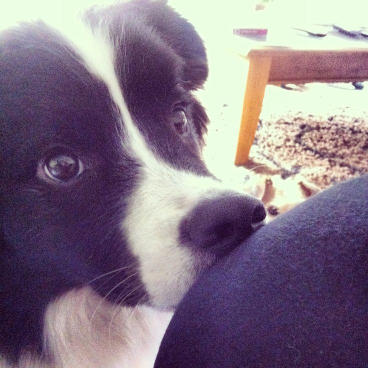 Border collie cutie!