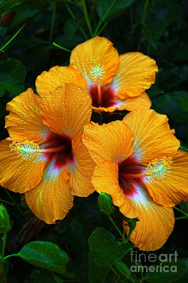 Cherie Hibiscus Photograph - Trinity by Eric Evans