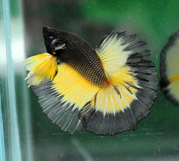 Black and yellow butterfly | Betta fish | Pinterest