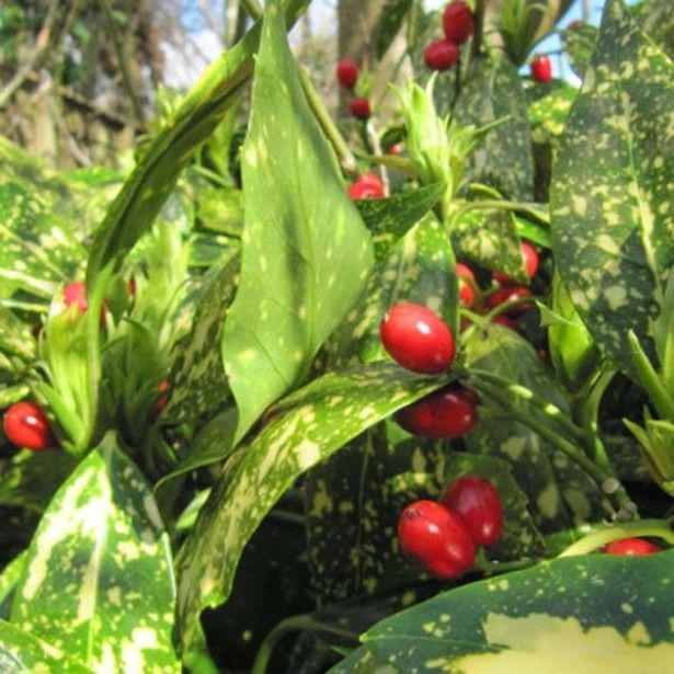 over arbuste feuillage persistant op pinterest  arbre à feuillage