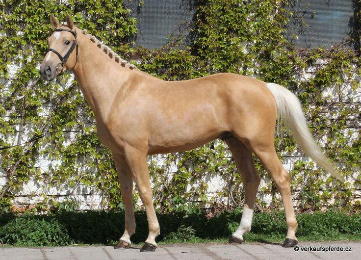 Paard Te Koop Oldenburg Dressuur Hengst Wundersch 246 Ner Allrounder V Phin Phin Horsestep