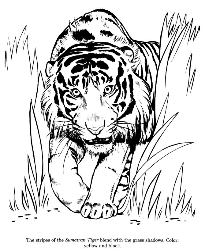 Coloring Fun To Draw Pages Kids Colori On Baby Toys Learn And Color Animal Drawings Sumatran Tiger