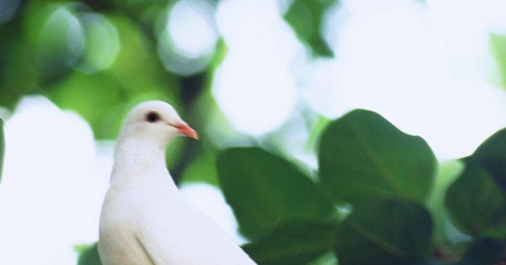 Cómo tratar los piojos en las palomas. Un estudio de la Universidad de Utah demuestra que los piojos prefieren las aves más grandes. Así que si tu paloma mascota está llena de aparentes piojos grandes, no es sólo tu imaginación, en realidad éstos son de gran tamaño. Además de molestar a tu mascota, los piojos también pueden causar daños a las plumas y graves irritaciones en la piel. Tu ...