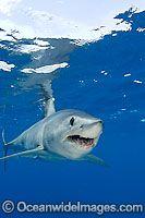 Shortfin Mako Shark image