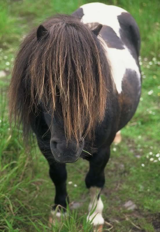 I always wanted a Shetland Pony