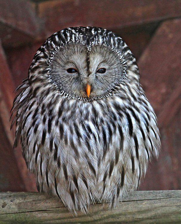 Ural Owl - Habichtskauz