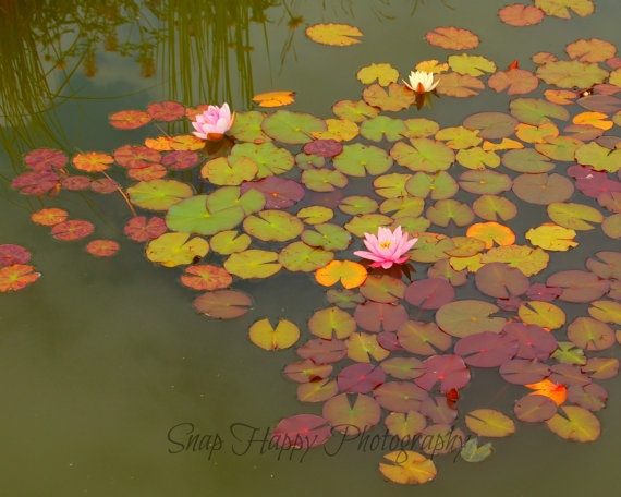 Water Lilies  8x10 Photo  Nature Photography by Snaphappy72, $15.00
