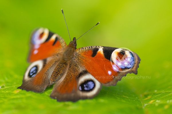 Close up of a European Peacock Butterfly  © Arno Enzerink / www.stockphotography.nu All rights reserved.