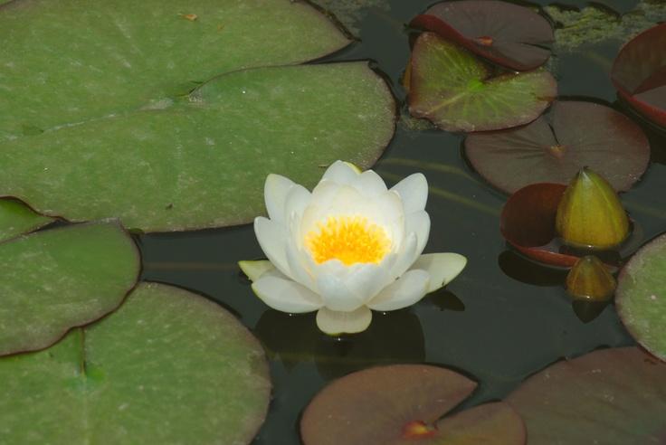 A white lotus flower.    Un fiore di loto bianco nei Giardini Acquatici del Parco-Giardino Sigurtà.