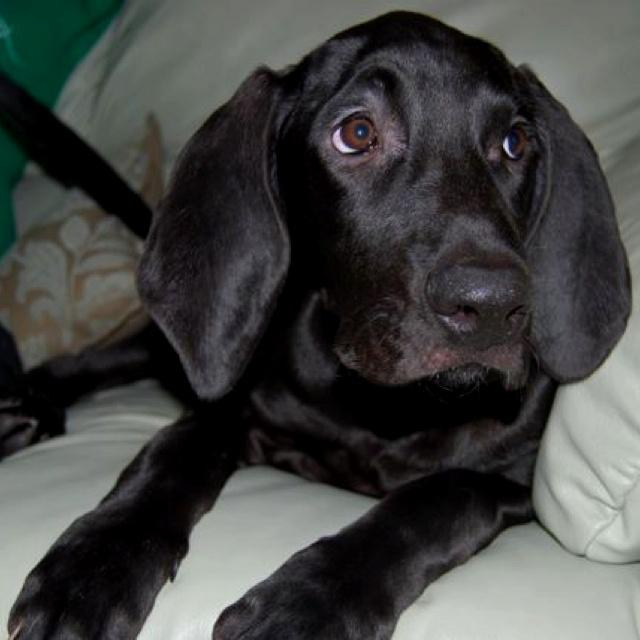 Black Lab Bloodhound Mix Bloodhound lab mix