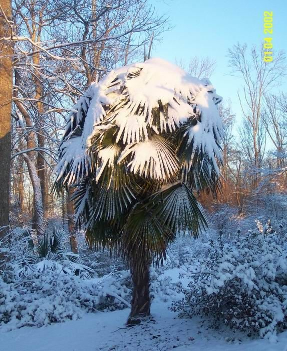 new york type palms windmill palm loves the cold planting diy