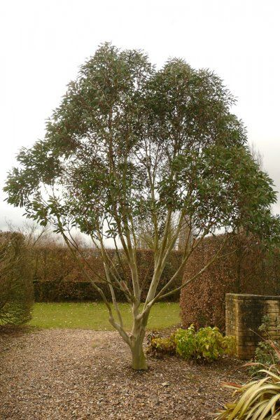 17 Best Images About Trees N Shrubs On Pinterest Gardens 400 x 300
