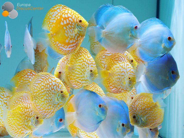 Nice collection of contrasting Discus varieties. See this Instagram photo by @europadiscuscenter • 403 likes
