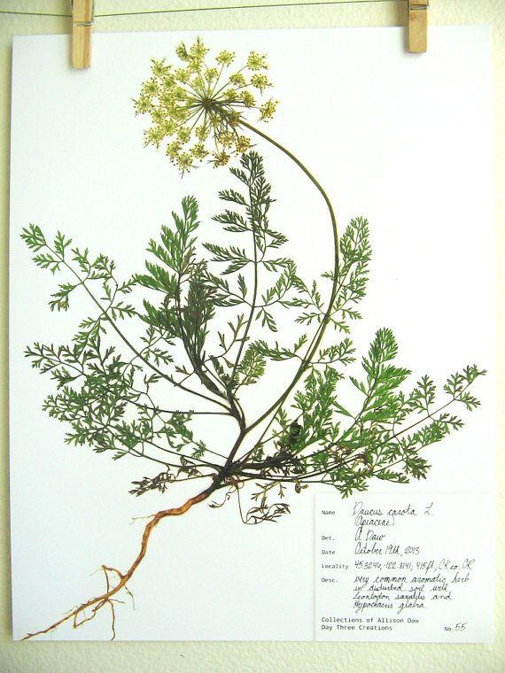 82 besten herbarium bilder auf pinterest kr uterkasten bl tter und botanik. Black Bedroom Furniture Sets. Home Design Ideas