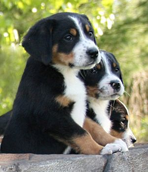 Someday we're going to get a Greater Swiss Mountain Dog. How adorable are those faces?!