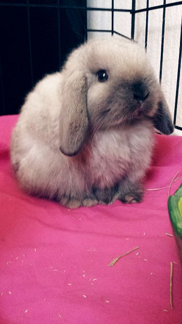 My beautiful new Holland Lop Bunny! Her name is Sassafrass!