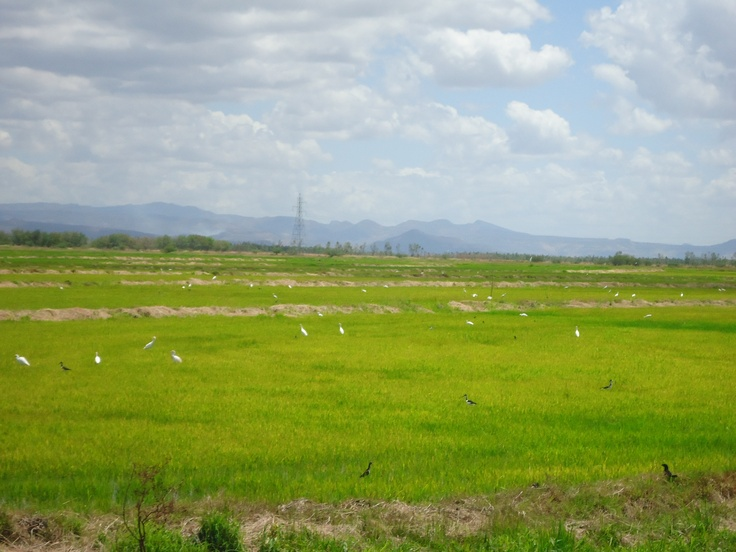 Herons in the rice, Tipitapa, Managua, Nicaragua