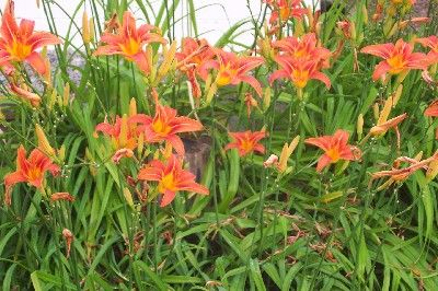 How to Grow Tiger Lily Flowers by The Gardener's Network - I like a flowering plant that benefits from less than ideal conditions and benign neglect AND has edible roots/bulbs. It's a Two-fer!
