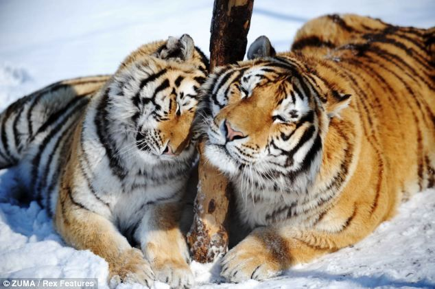 This pair of Siberian tigers look content as they rub their scent glands against a tree after dinner time at the Tiger Park in Harbin, China