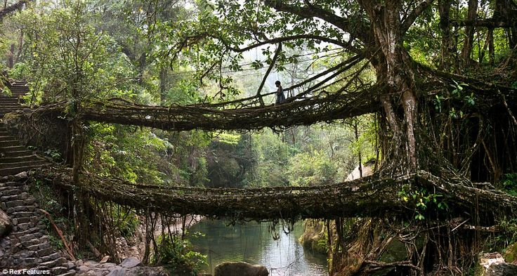 Ancient solution: The 'double decker' living tree root bridge in the village of Nongriat in Meghalaya, India. Locals have been using the bridges for over 500 years