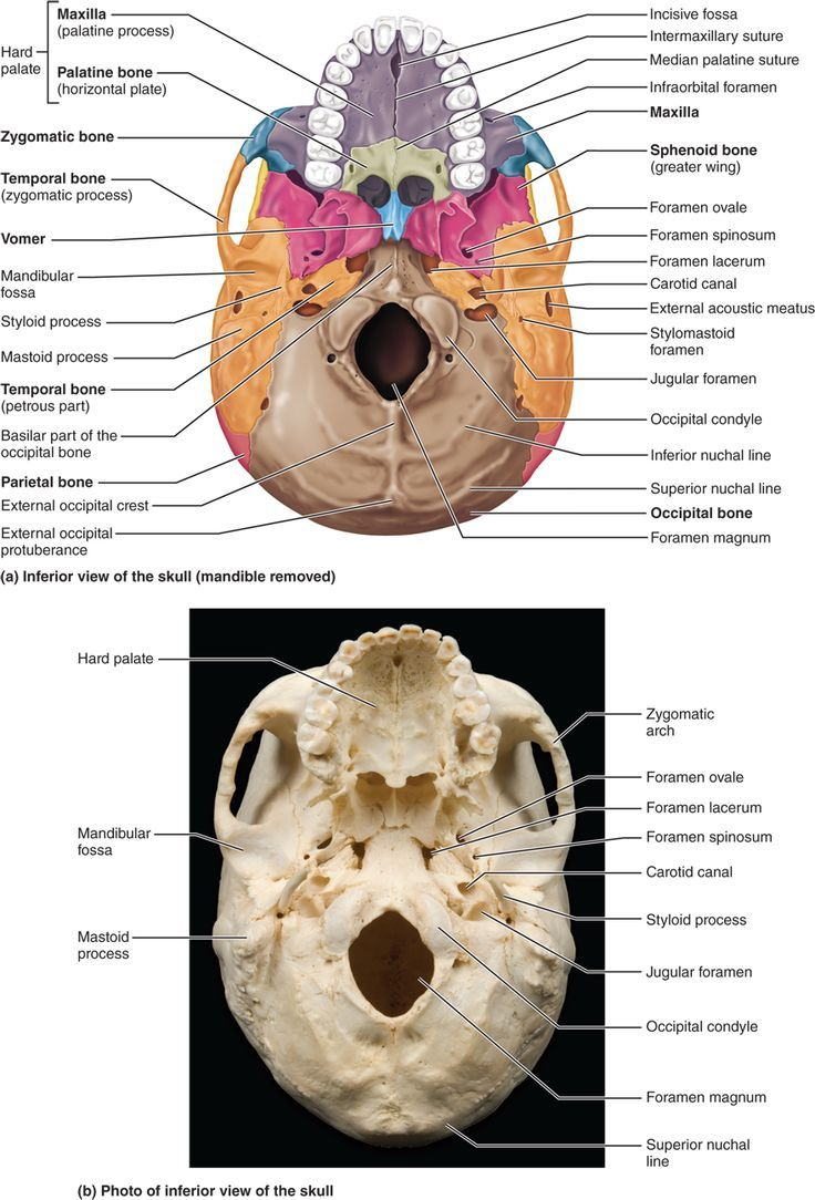 230 best bone diagram images on pinterest the human body creative part 1 the axial skeleton 71 the skull consists of 8 cranial bones and 14 fandeluxe Gallery