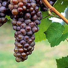 Rebsorten - Badischer Wein Grau burgunder/ Rulander