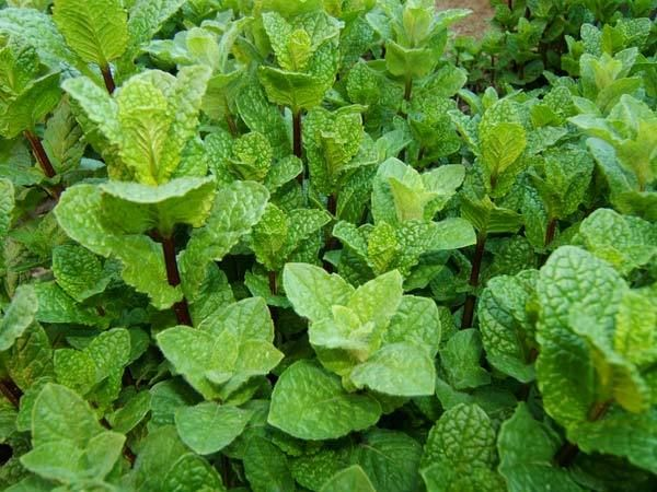 Peppermint is a popular herbal plant with a sharp refreshing menthol flavour, Thus, it is proven to be beneficial. Know the peppermint leaves benefits for skin, hair and health