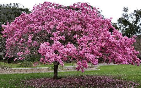 Tabebuia Impetiginosa Pink Ipê Lapacho A Large Dry Deciduous Tree To About 30 M 100 Ft Tall With Wide Distribution From Northern Me Pinterest
