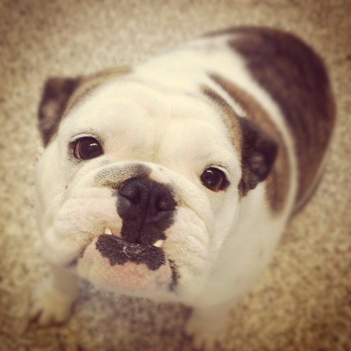that underbite just does me in...: Sweet Things, Faces, English Bulldogs, Ermahgerd Dogs, Baby Sooo, Favorite, Blairbees Bullies, Designs Styles, Eye