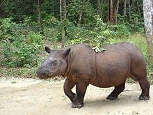 Sumatran rhinoceros - Wikipedia