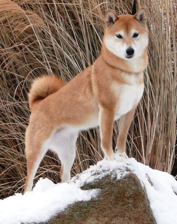 Best Shiba Inu Images On Pinterest Beautiful Bird And Friends - Three shiba inus stick their heads through wall to greet passers by