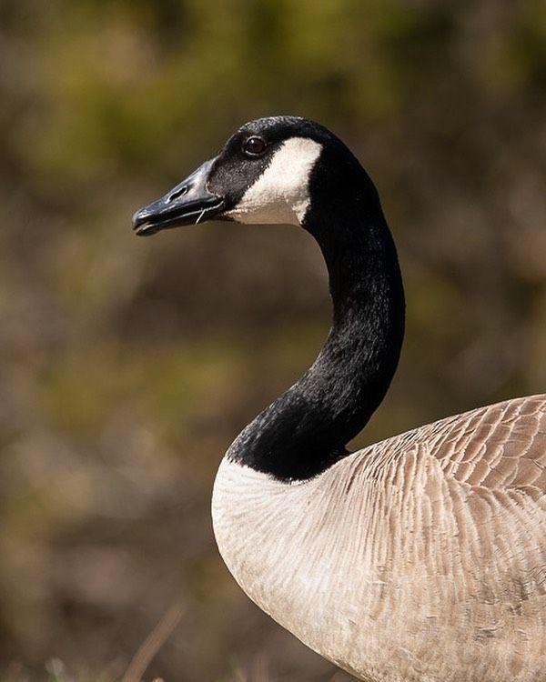 Canada Goose Profile Goose Canada Geese Toronto Explorecanada Ontario Alberta Vancouver Waterfowl Nikon Quebe Instagram Instagram Posts Cool Pictures