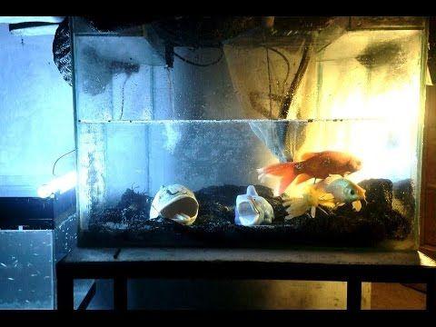 Breeding Comet Goldfish in Small Tank - YouTube