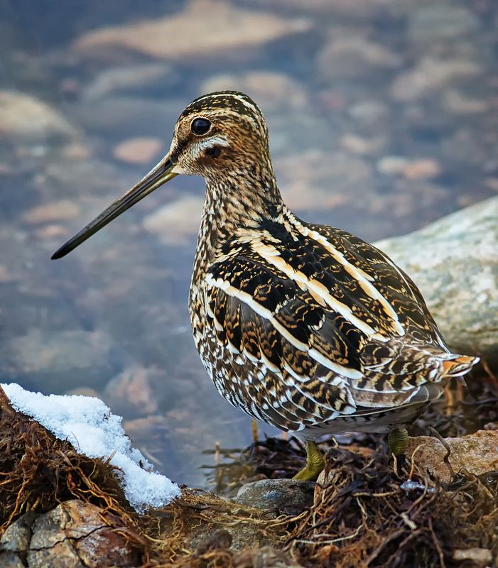 Snipe. It's the stripes along the back that are so distinctive.
