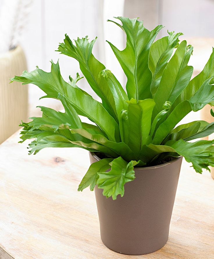 Bird's Nest Fern - Used to have one so big.. I need another.
