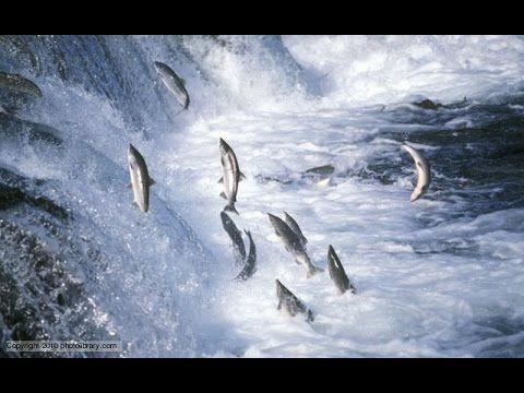 National geographic - Salmon Documentary - BBC wildlife animal documentary - YouTube
