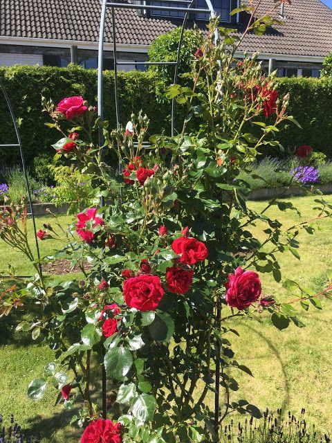 Времена года: Мои вьющиеся розы