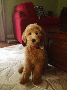 goldendoodle teddy bear cut
